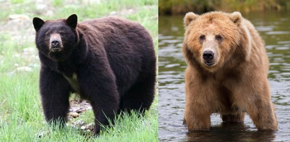 What is the difference between a grizzly bear and a black bear?