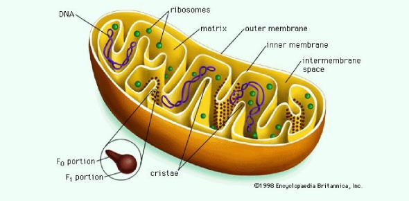What pathway do most electrons follow inside an active mitochondrion? <br/>