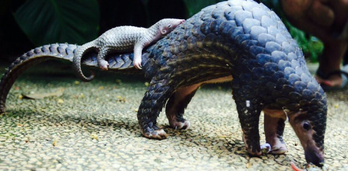 Pangolins.  The most trafficked animal in the world is PANGOLINS. Pangolins are mammal known for