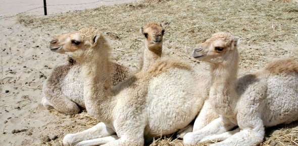 You might expect a baby camel to be called a horse, a foal, but it is not. It is called a calf,