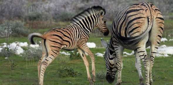 They may not be listed as endangered (yet) but Greby's zebra particularly is at risk. They