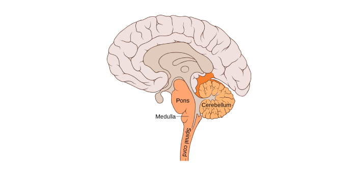 Are you aware of what the pons and the medulla are? These are known to be parts that can be seen in
