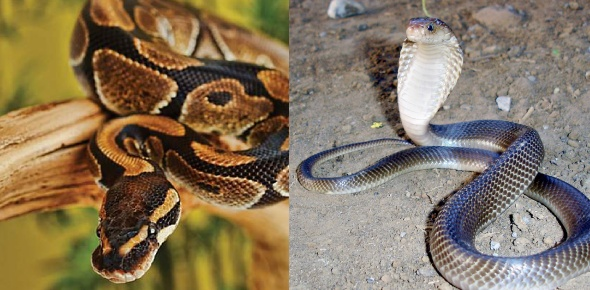 Pythons and King Cobras are two types of snakes. Both are dangerous and deadly. They are also two