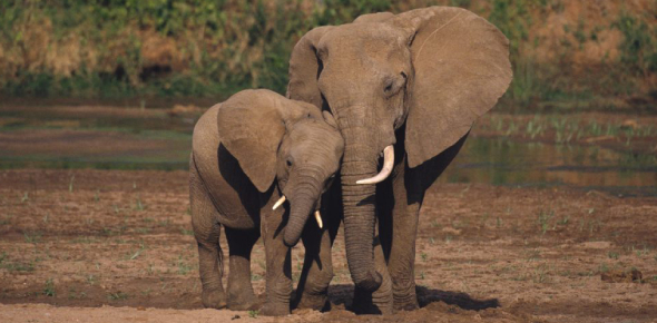 Right after pangolins, the African elephant is the most poached of all animals in Africa, and due