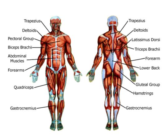 Muscle Diagram Sliding Puzzle Game