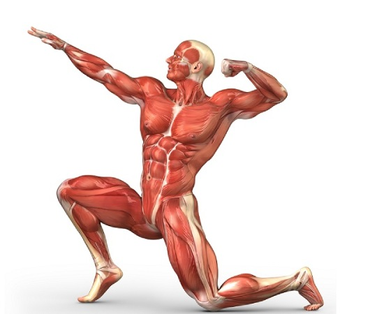 Muscular System In Human Body Sliding Puzzle Game